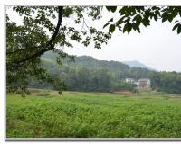 方洲三级古树155年香樟树